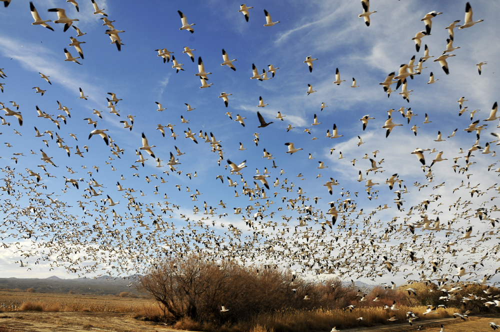 Bosque del Apache, NM - Snow Geese in Flight, December 2010