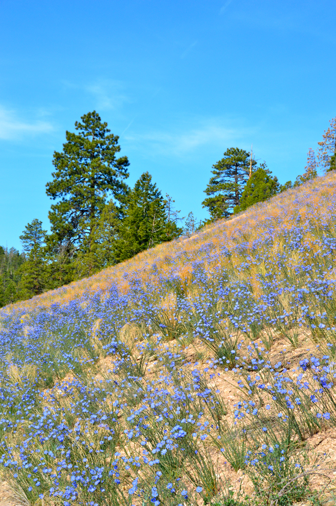 Wild Flowers, Bryce Canyon 2012