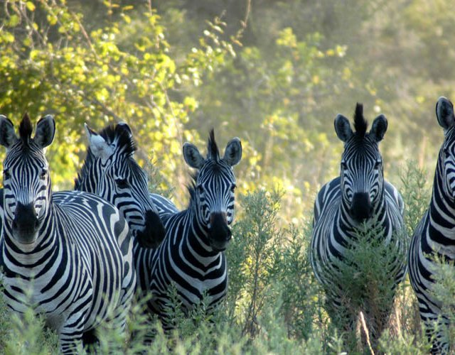 Namibia, Caprivi Strip, Zebras in the Bush